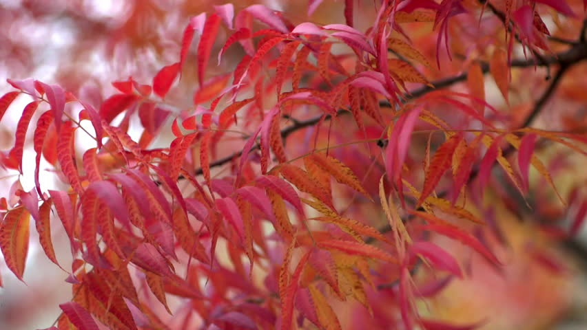Beautiful red leaves in Autumn #32695144