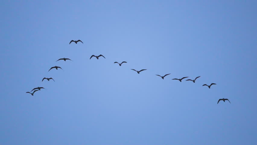 Follow leaders: Flock of  seagull flying in an imperfect V formation. Slow motion.  Birds gull flying in formation, Blue sky background. Migrating Greater birds flying in Formation | Shutterstock HD Video #32788864