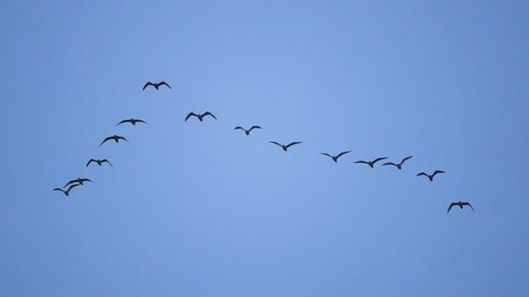 Follow leaders: Flock of  seagull flying in an imperfect V formation. Slow motion.  Birds gull flying in formation, Blue sky background. Migrating Greater birds flying in Formation
