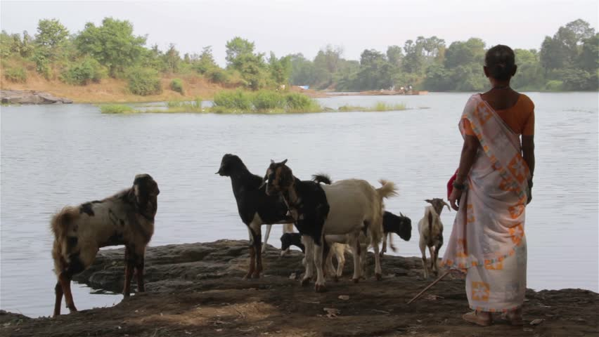 An Indian lady in Saree herding goats, next to a beautiful river