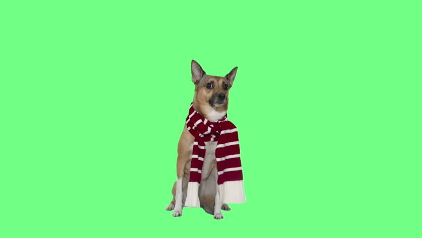 Funny dog in a red white scarf on a green screen | Shutterstock HD Video #32865334