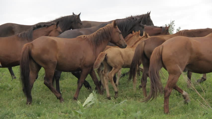 The herd of horses is grazing in the foothills of Alma-ata. | Shutterstock HD Video #32890324