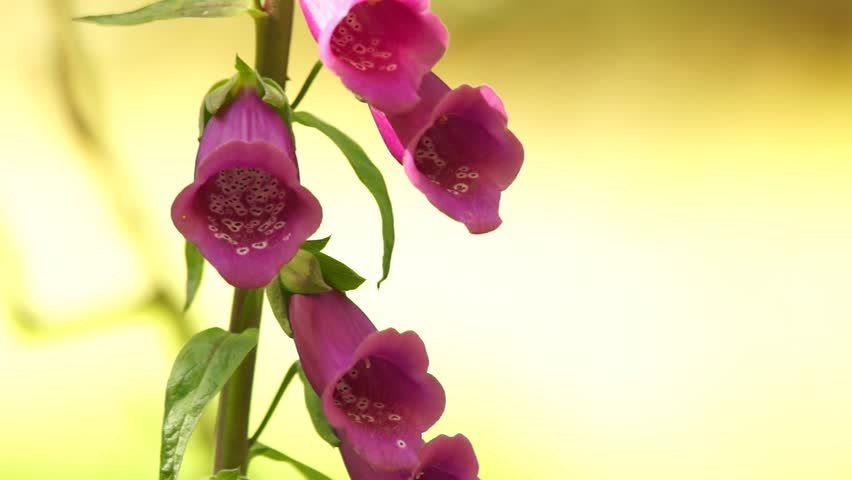 Wild Pink Foxglove Flowers With Stock Footage Video 100 Royalty