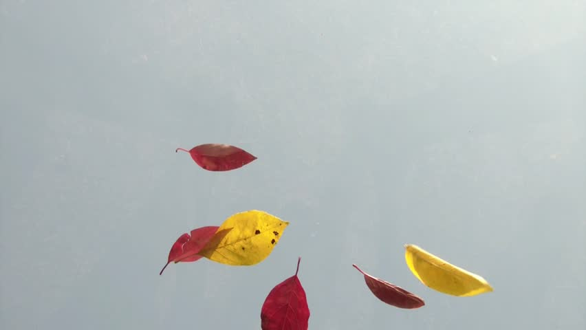 Colorful leaves falling in the autumn season shot from below towards blue sky, through clear glass.   Shutterstock HD Video #3293834