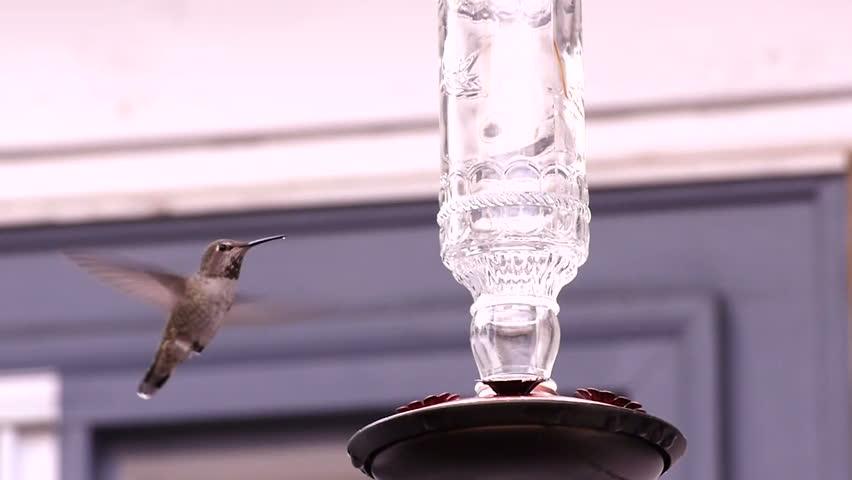 Anna's hummingbird drinking from the feeder