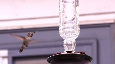 Anna's hummingbird drinking from the feeder