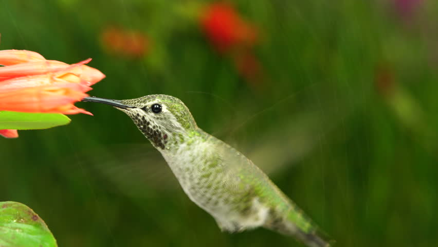 hummingbird stretching one foot while hovering