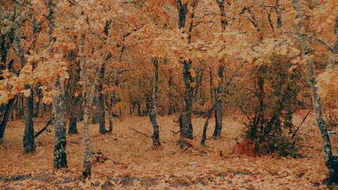 Passing By Yellow Red Leaf Autumn Trees In Misty Weather. Side driving view ,from inside the car, of mountain forest trees in an autumn terrain of paved leafs.