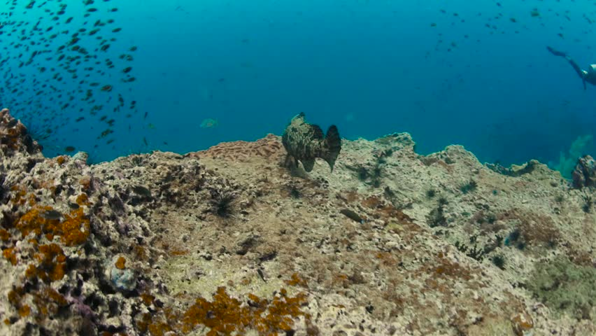 A big groupper fish floating over coral reef, underwater shot