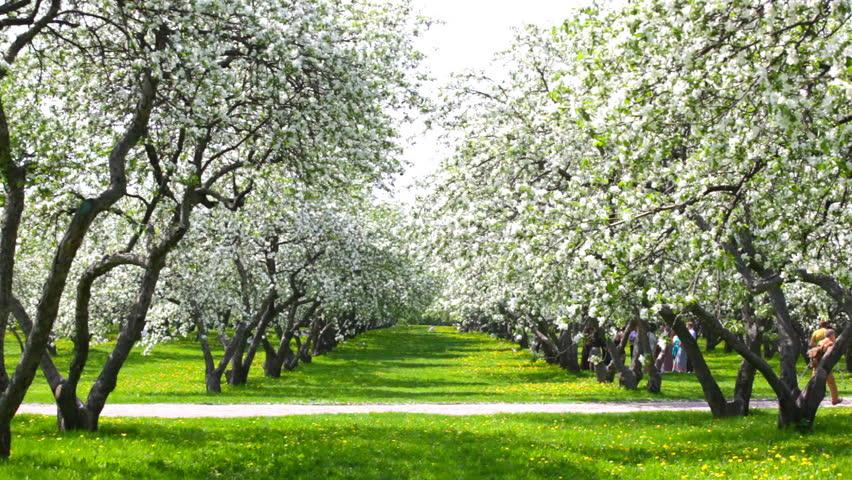 Beautiful Blossoming Apple tree Garden Stock Footage Video 3337259