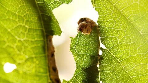 Silkworm devouring leaf green tree in garden. Close up silkworm caterpillar eating leaf at green tree in summer day. Caterpillar isolated gnawing leaves on background green foliage tree