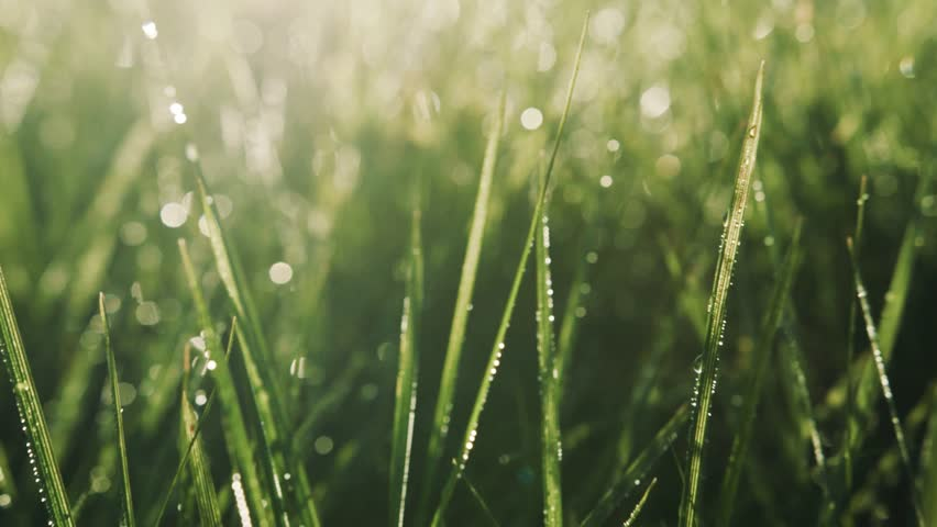 Shining Morning Dew On Green Stock Footage Video (100% Royalty-free)  33295354 | Shutterstock