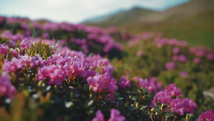 Close up view of violet mountain flowers under strong wind. Mountainous region, pure nature. Relaxation, positive emotions. Sunny weather, cloudy sky, camera stabilizer shot, landscape