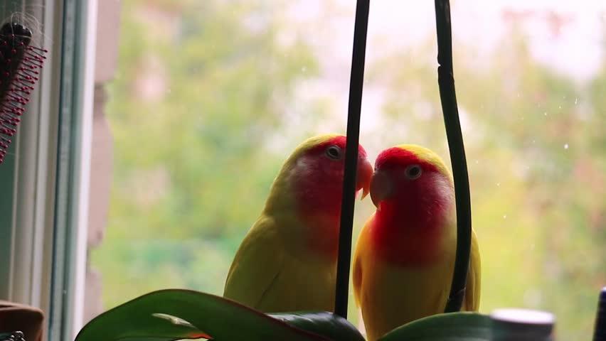Two parrots near the window | Shutterstock HD Video #33310744