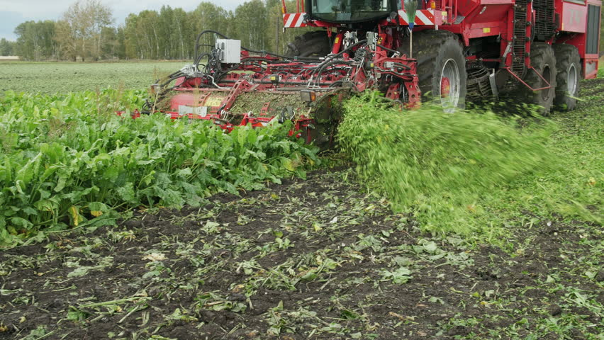 Mechanized harvesting of sugar beets in a field in the Netherlands on a sunny day in the end of the autumn season