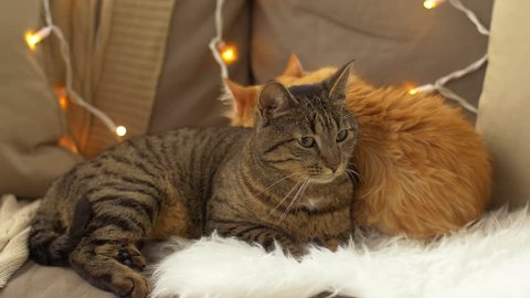 pets, christmas and domestic animal concept - two cats lying on sofa with sheepskin at home in winter