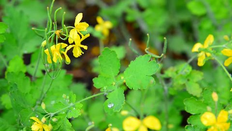 Yellow flowering celandine in rain drops
