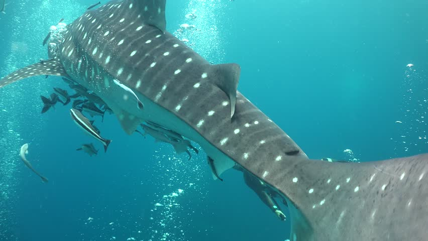 Whale shark and freediver Thailand / Gulf of Siam  | Shutterstock HD Video #33540034
