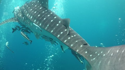 Whale shark and freediver Thailand / Gulf of Siam
