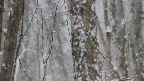 Winter deciduous forest on shore of the Black sea. European hornbeam (Carpinus betulus), hornbeam-wood, sleet (wet snowfall), snow smothered trails, snow never ceased falling, blizzard