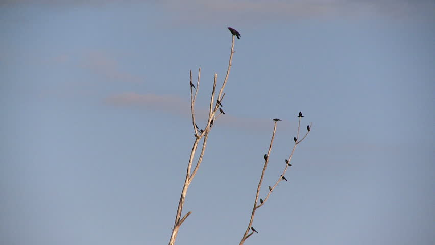 Crows in flight | Shutterstock HD Video #3356414