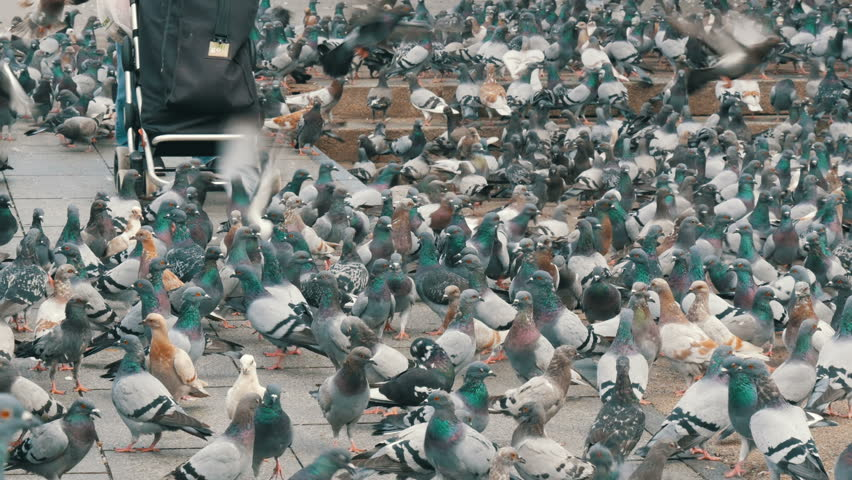 A woman with a wheelbarrow and a big black bag is feeding city pigeons in Barcelona | Shutterstock HD Video #33624754