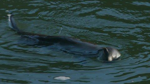 River Otter Close up Looking at Camera (Eurasian)