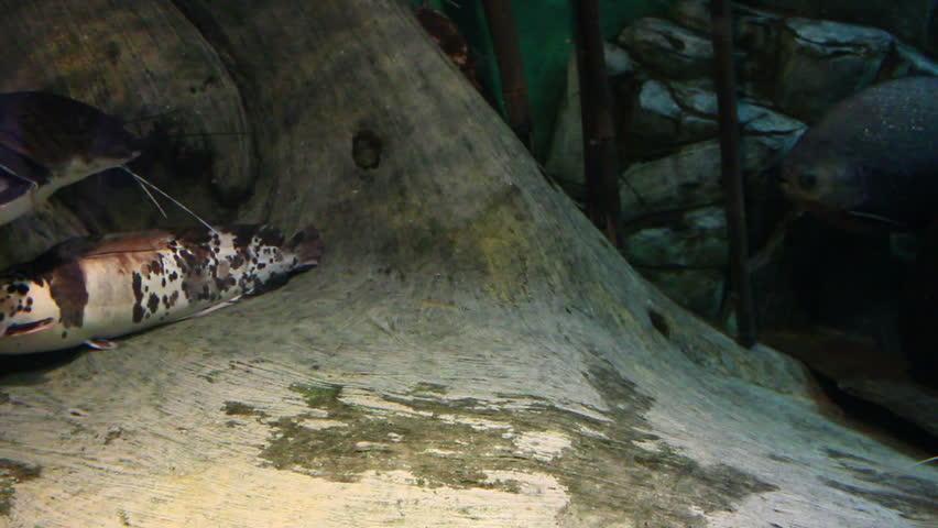 Sheatfish underwater | Shutterstock HD Video #3368324