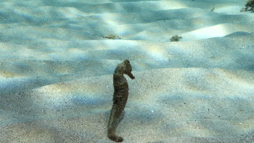 Seahorse in shallow water of coral reef in the Caribbean Sea around Curacao