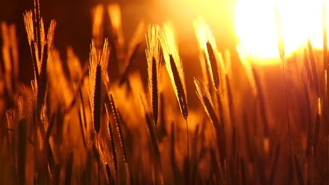 Sunset behind the silhouette of a corn field. Wheat swaying. Gentle breeze. Wheat at sunset. Cornfileld in the beautiful late evening sunshine.  Crop of Cereals . Wheat Harvest. Ears of wheat
