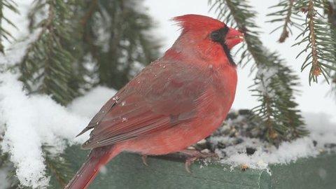Male Northern Cardinal (cardinalis cardinalis) on a feeder in a snow storm