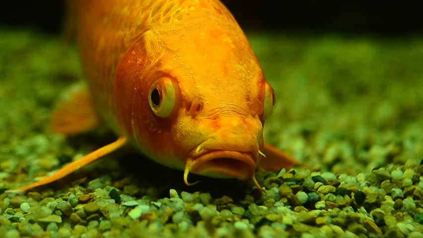 Goldfish in aquarium with green plants, and stones | Shutterstock HD Video #33844264
