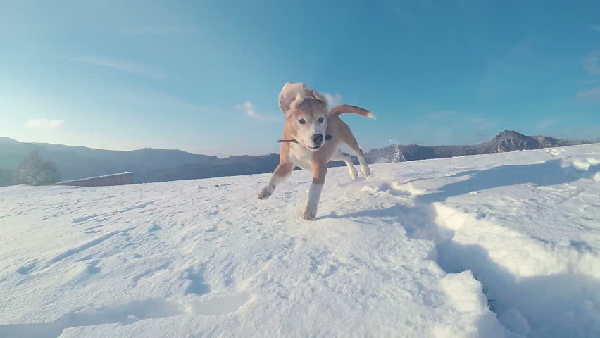 Active beagle dog running slow motion footage during the snowy mountaing walking