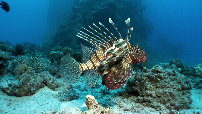 Common lionfish Footage #page 2 | Stock Clips