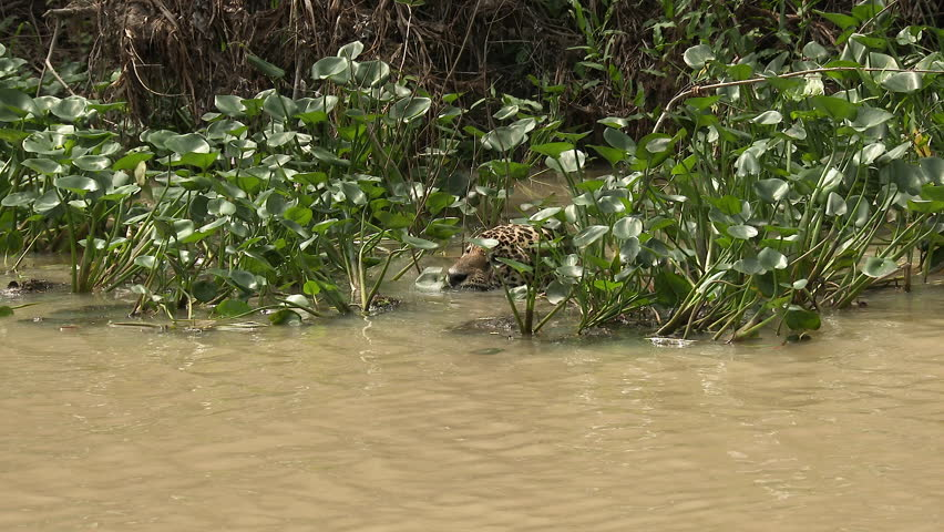 Jaguar (Panthera onca)swimming, hunting along riverbank, Capybara swimming away in the Pantanal wetlands, Brazil