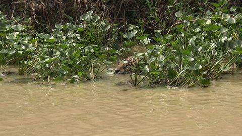 Jaguar (Panthera onca)swimming, hunting along riverbank, Capybara swimming away in the Pantanal wetlands, Brazil