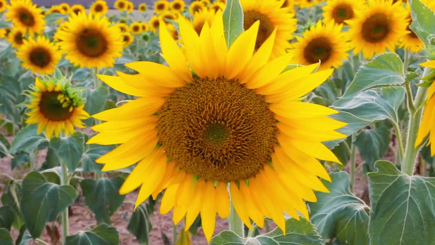 how to make sunflower oil video
