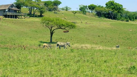Picturesquely situated lodge at Drakensberg mountains, South Africa. A baby zebra walks playfully behind his mother.