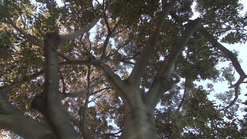 Header of Ficus