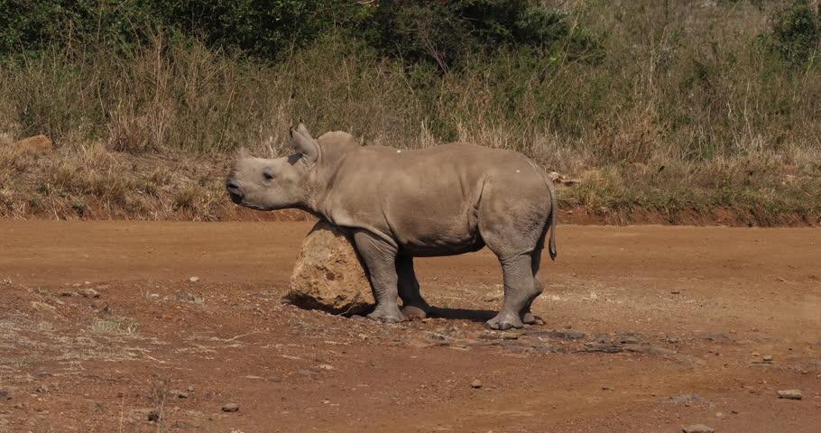 White Rhinoceros, ceratotherium simum, Calf scratching on Stone, Nairobi Park in Kenya, Real Time 4K