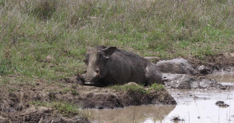 Warthog, phacochoerus aethiopicus, Adult having Mud Bath, Nairobi Park in Kenya, real Time 4K