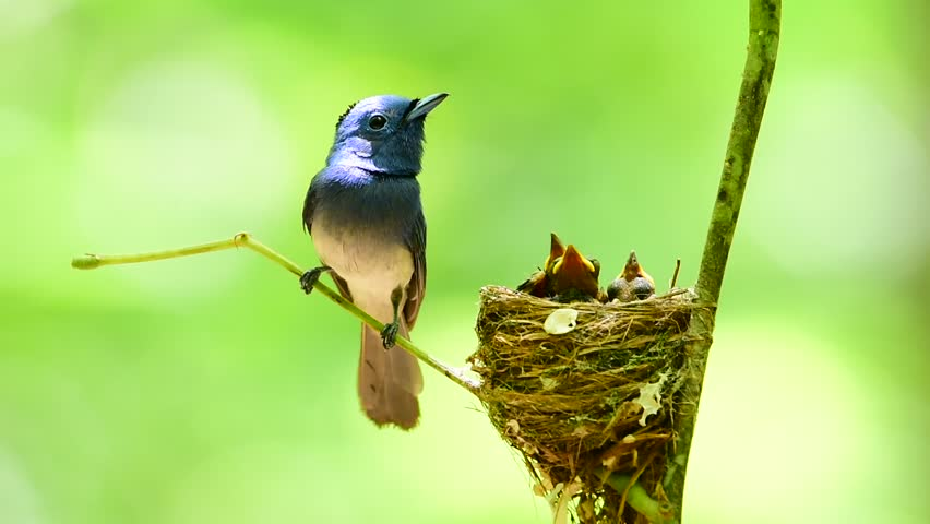 Beautiful bird male Black-naped Monarch or Blue Flycatcher lookin his chicks in the nest with love and take care, Hypothymis azurea | Shutterstock HD Video #34085614