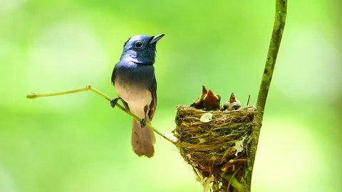 Beautiful bird male Black-naped Monarch or Blue Flycatcher lookin his chicks in the nest with love and take care, Hypothymis azurea