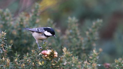 crested and coal tit (Lophophanes cristatus/Periparus ater) hovering and flying over gorse for food, peanuts during winter in moray, scotland