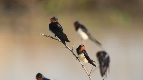 Barn Swallow Birds fighting in Thailand and Southeast Asia.