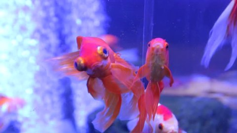 The goldfish with big eyes exotic veiltail