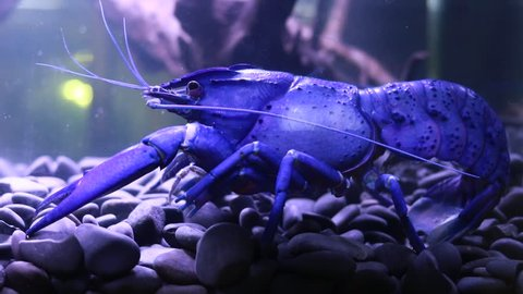BANGKOK, THAILAND - December 17, 2017: Amazing Night Blue Maron Crayfish bigest crayfish size 12 inch. The show was held at Pet Varity 2017 held at Impact Arena Muang Thong Thani By Abi far
