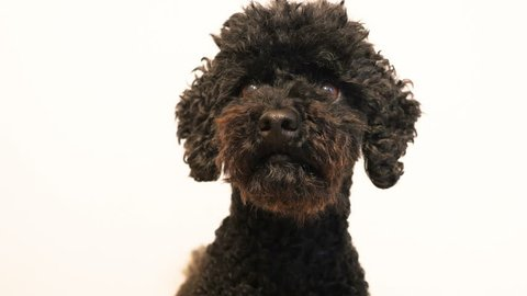 Close up of a cute black poodle nodding his head