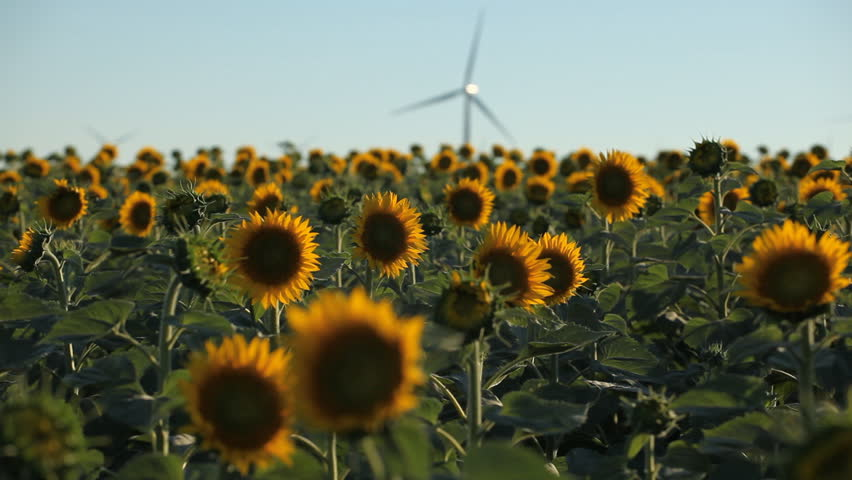 Sunflower Field in Summer, Wind Energy, Power Turbine, Renewable, Sustainable