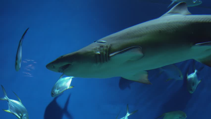 Sand tiger shark (Carcharias taurus)  | Shutterstock HD Video #34310584